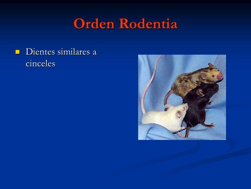Orden Rodentia Dientes similares a cinceles