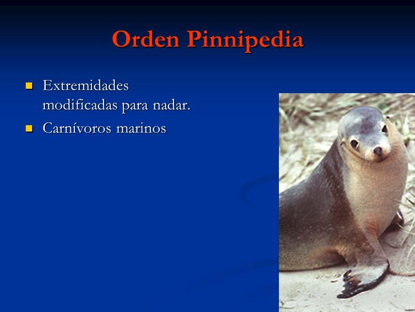 Orden Pinnipedia Extremidades modificadas para nadar.