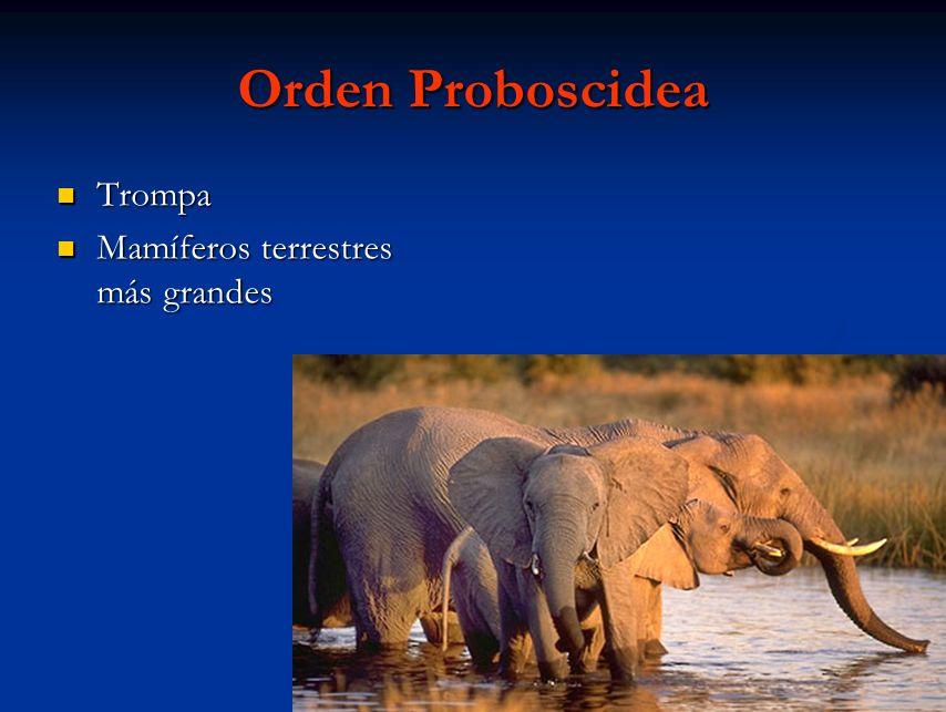 Orden Proboscidea Trompa Mamíferos terrestres más grandes