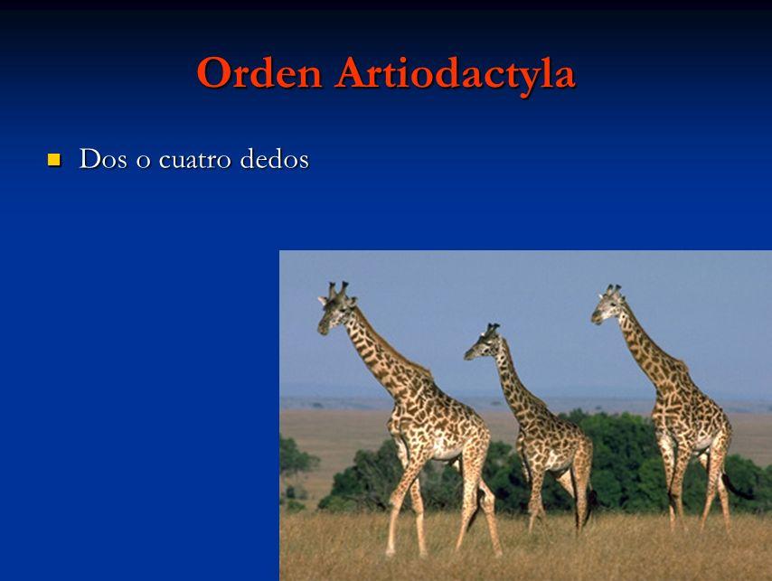 Orden Artiodactyla Dos o cuatro dedos