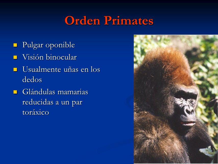 Orden Primates Pulgar oponible Visión binocular
