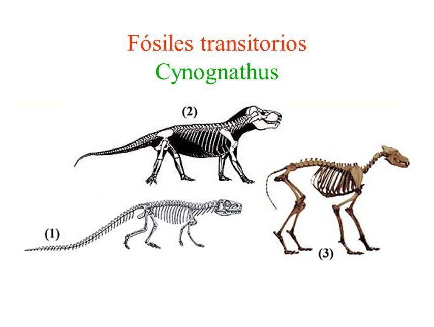Fósiles transitorios Cynognathus