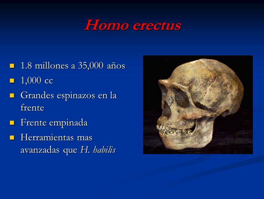 Homo erectus 1.8 millones a 35,000 años 1,000 cc