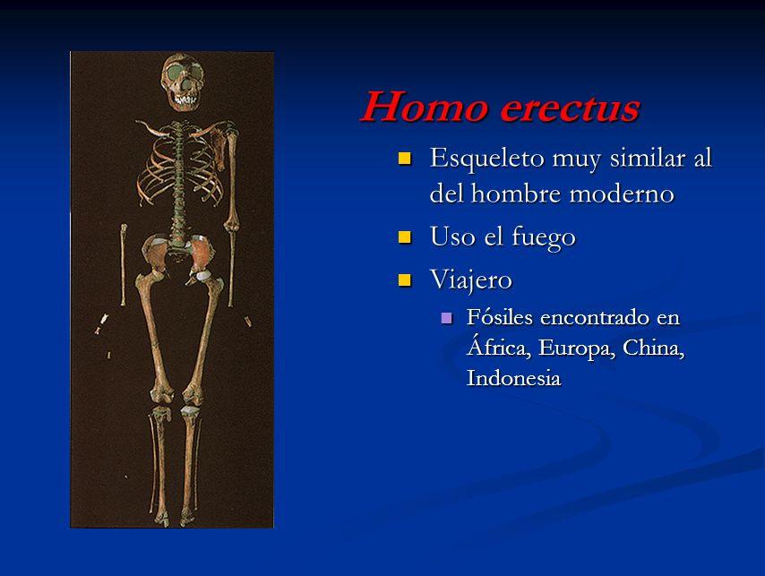 Homo erectus Esqueleto muy similar al del hombre moderno Uso el fuego
