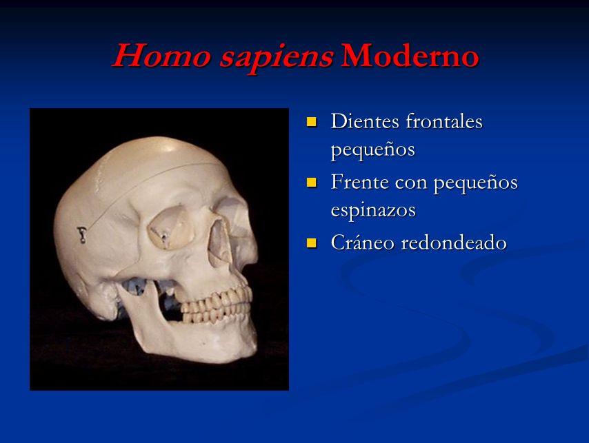 Homo sapiens Moderno Dientes frontales pequeños