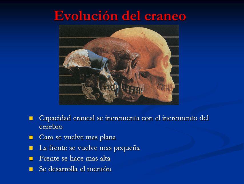 Evolución del craneo Capacidad craneal se incrementa con el incremento del cerebro. Cara se vuelve mas plana.