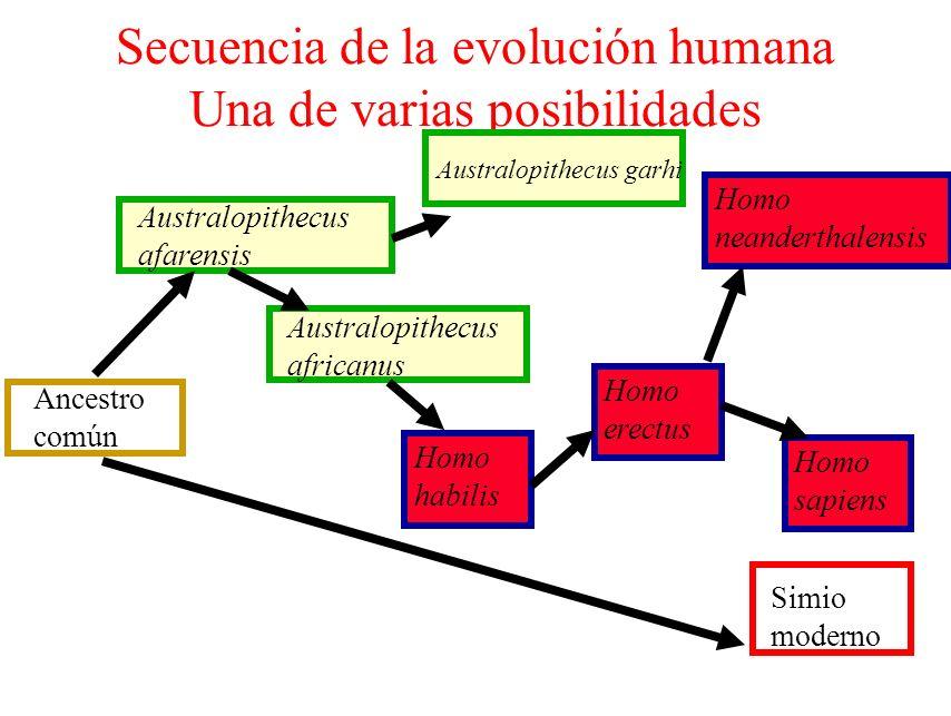 Secuencia de la evolución humana Una de varias posibilidades