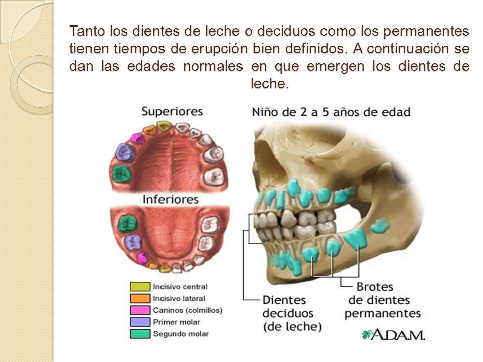 Tanto los dientes de leche o deciduos como los permanentes tienen tiempos de erupción bien definidos.