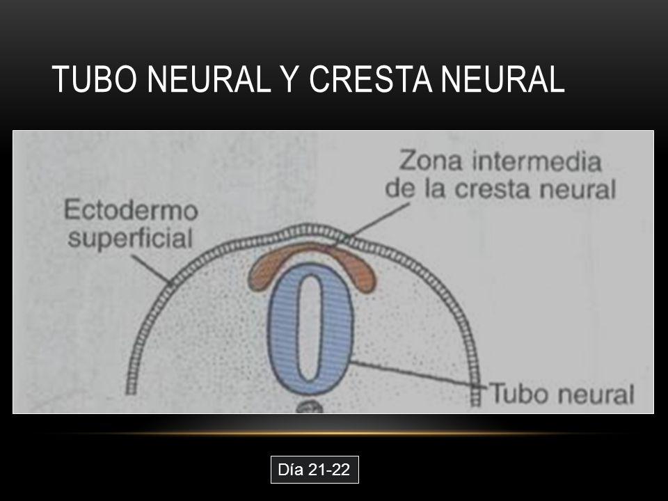 TUBO NEURAL Y CRESTA NEURAL