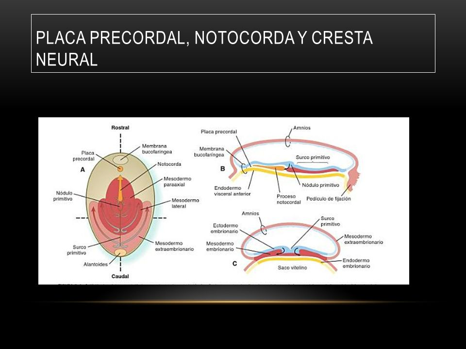 Placa precordal, Notocorda y cresta neural