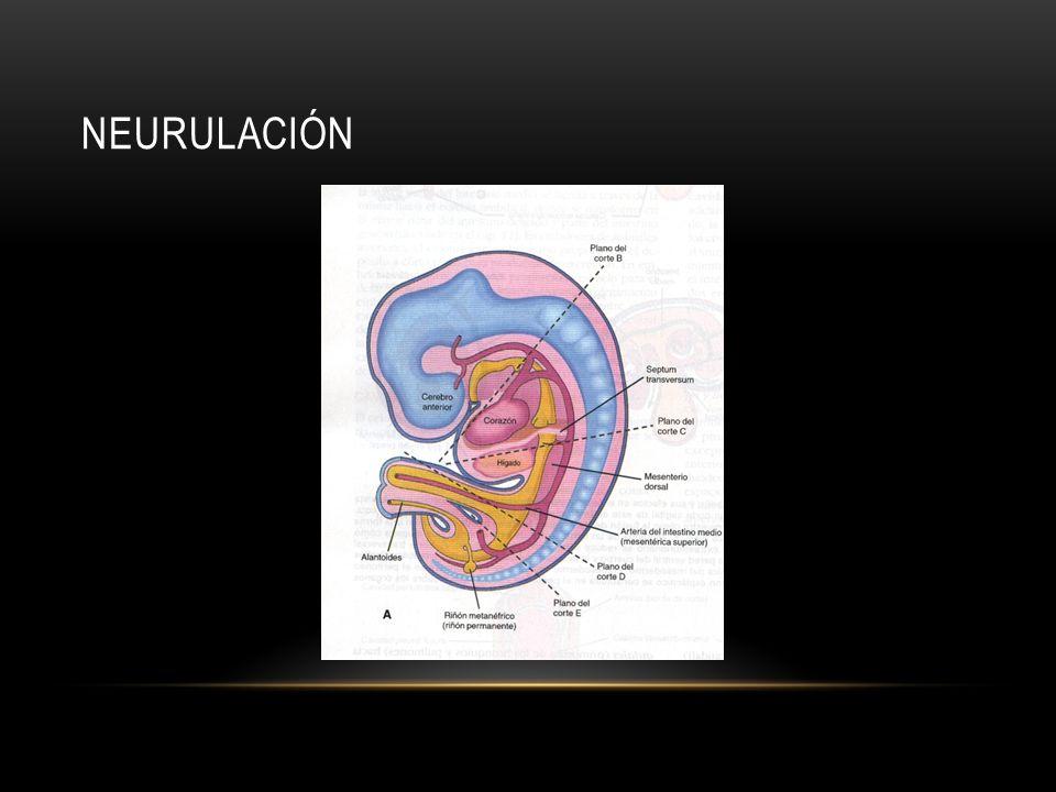 neurulación