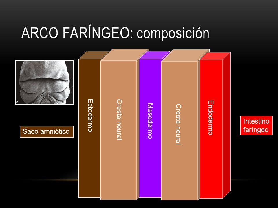 arco faríngeo: composición