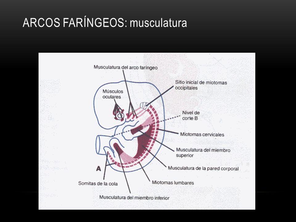 ARCOS FARÍNGEOS: musculatura