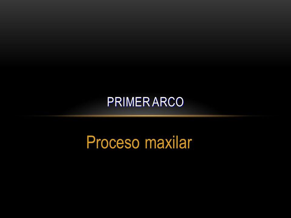 PRIMER ARCO Proceso maxilar