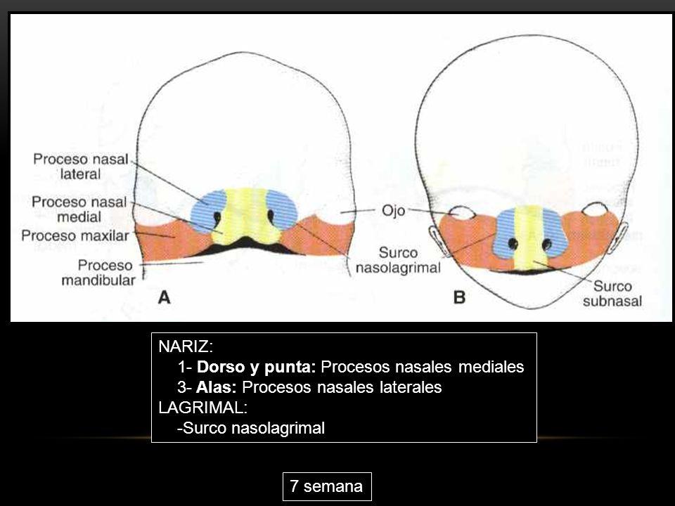 NARIZ: 1- Dorso y punta: Procesos nasales mediales. 3- Alas: Procesos nasales laterales. LAGRIMAL: