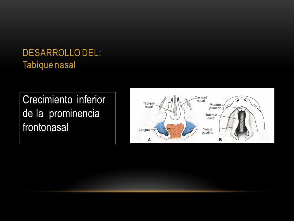 DESARROLLO DEL: Tabique nasal