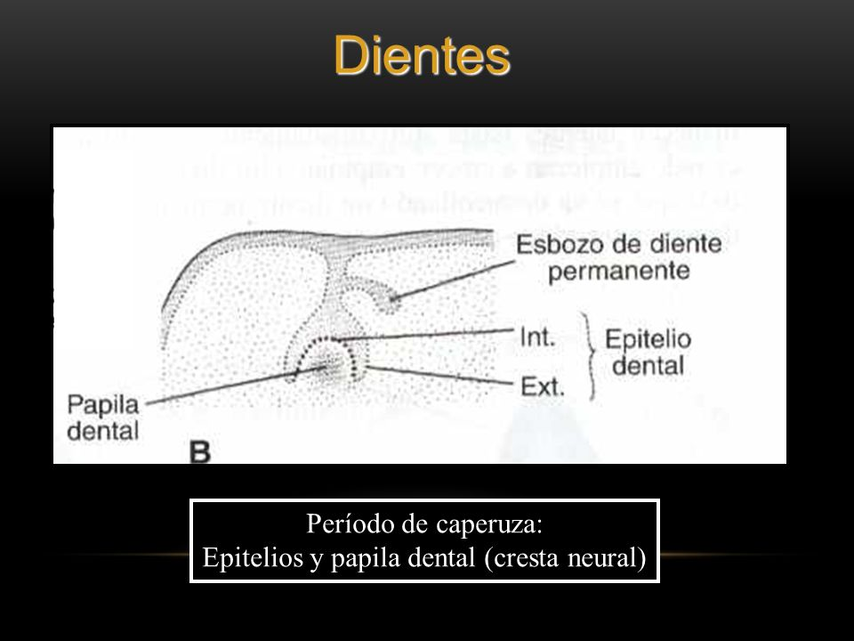 Epitelios y papila dental (cresta neural)