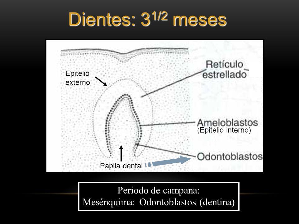 Mesénquima: Odontoblastos (dentina)