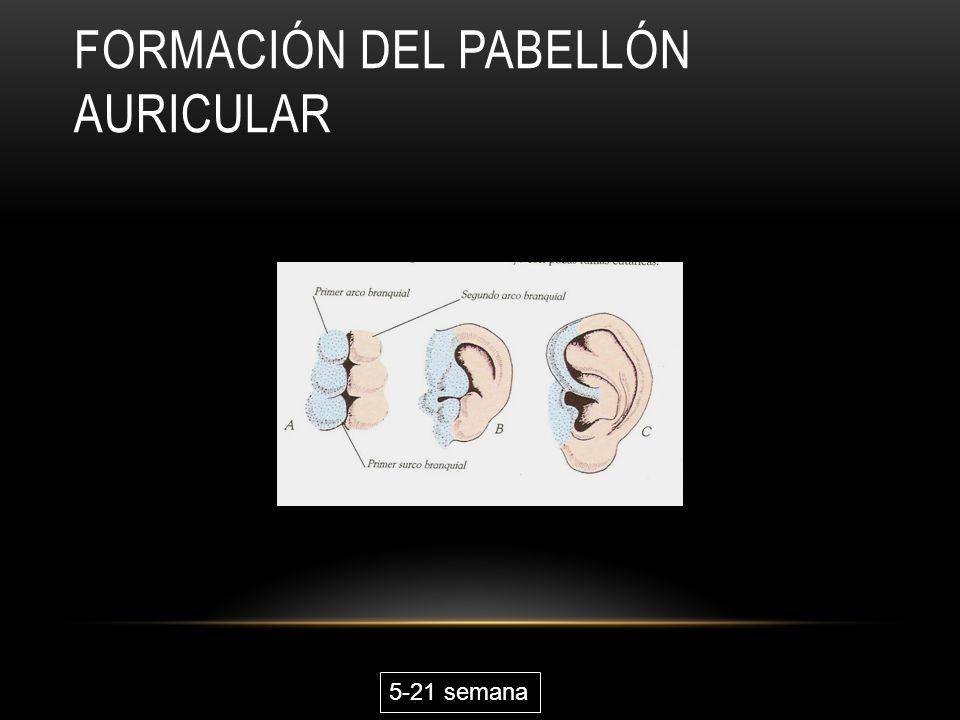 Formación del pabellón auricular