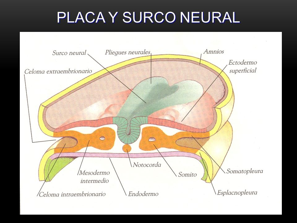 PLACA Y SURCO NEURAL