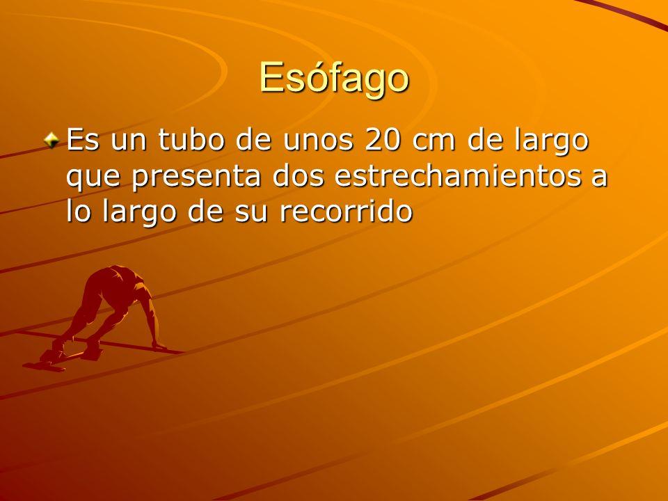 Esófago Es un tubo de unos 20 cm de largo que presenta dos estrechamientos a lo largo de su recorrido.