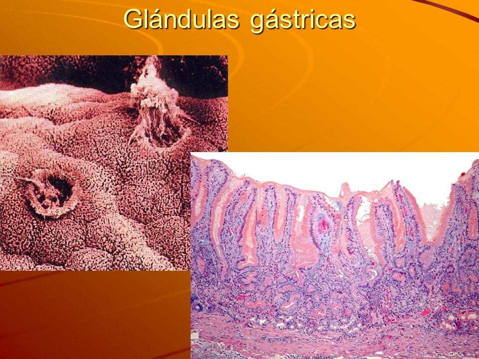 Glándulas gástricas