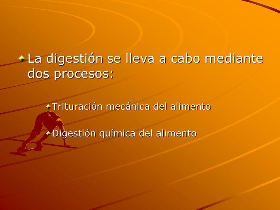 La digestión se lleva a cabo mediante dos procesos: