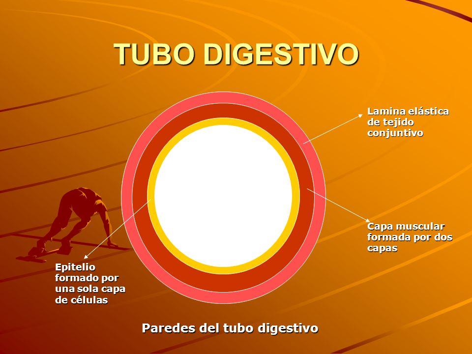 Paredes del tubo digestivo