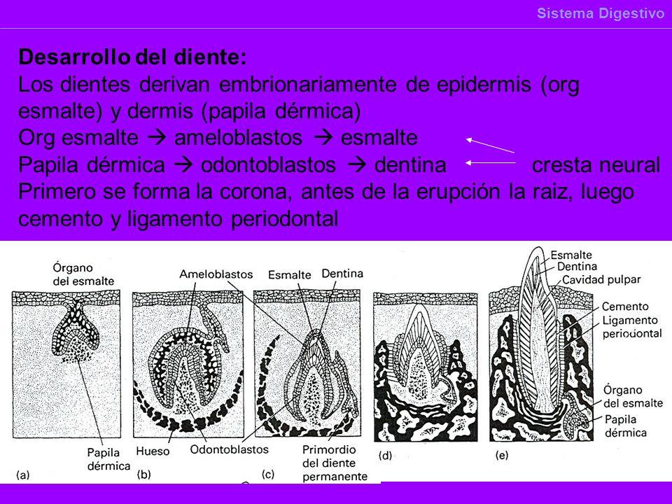 Desarrollo del diente: