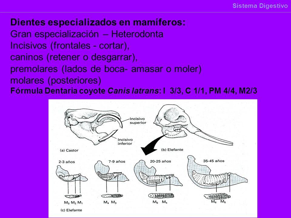 Dientes especializados en mamíferos: