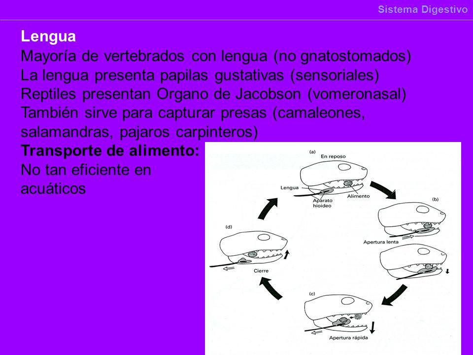 Mayoría de vertebrados con lengua (no gnatostomados)