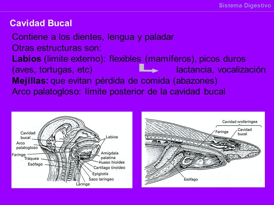 Contiene a los dientes, lengua y paladar Otras estructuras son: