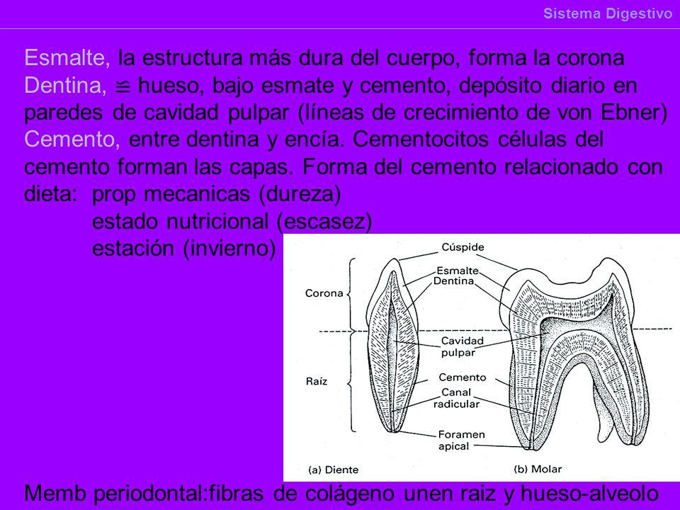 Esmalte, la estructura más dura del cuerpo, forma la corona