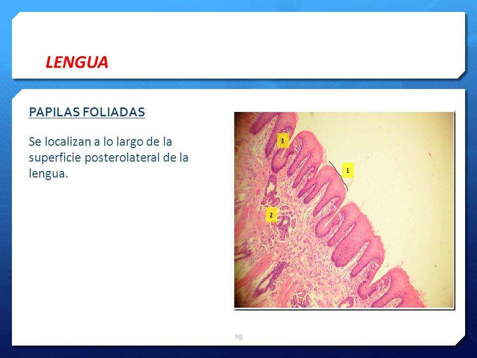 LENGUA PAPILAS FOLIADAS Se localizan a lo largo de la superficie posterolateral de la lengua.