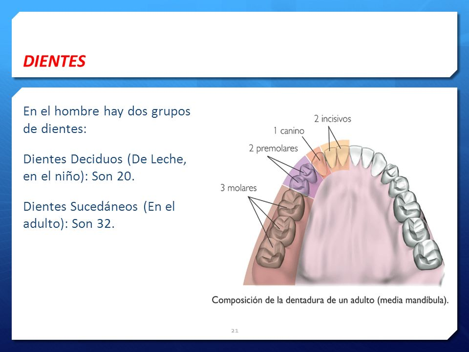 DIENTES En el hombre hay dos grupos de dientes: Dientes Deciduos (De Leche, en el niño): Son 20.