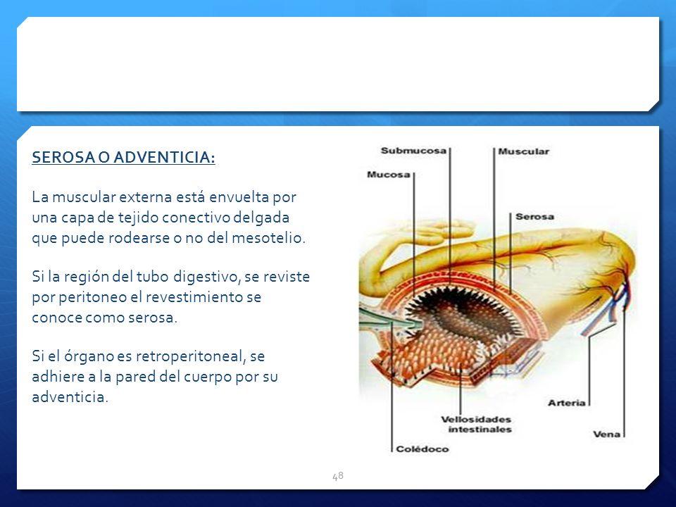SEROSA O ADVENTICIA: La muscular externa está envuelta por una capa de tejido conectivo delgada que puede rodearse o no del mesotelio.