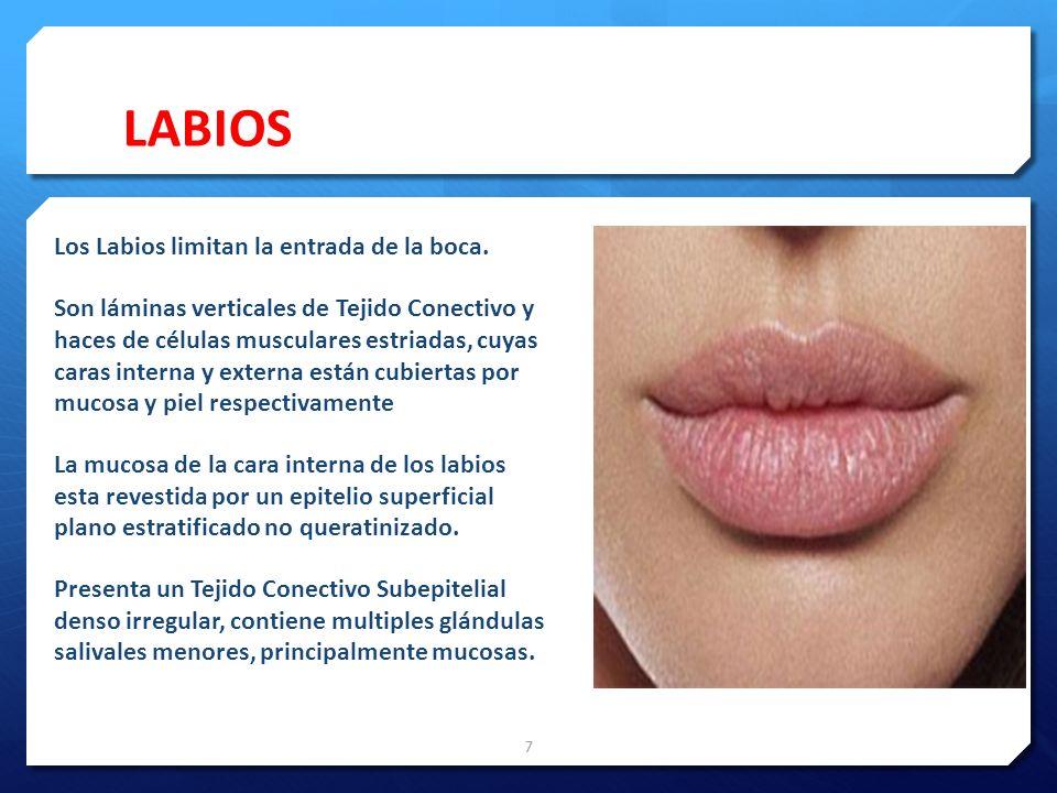 LABIOS Los Labios limitan la entrada de la boca.