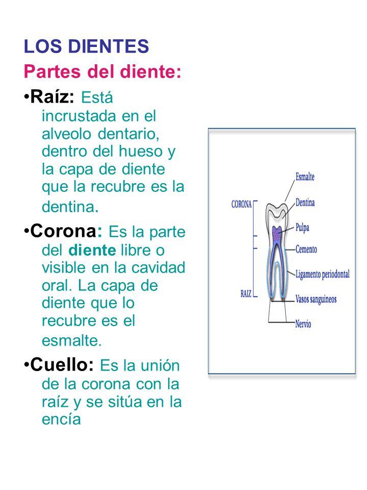 LOS DIENTES Partes del diente: •Raíz: Está incrustada en el alveolo dentario, dentro del hueso y la capa de diente que la recubre es la dentina.