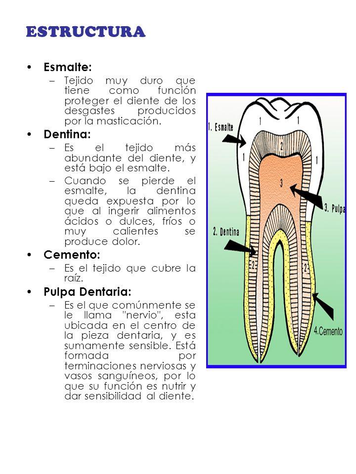 ESTRUCTURA Esmalte: Dentina: Cemento: Pulpa Dentaria: