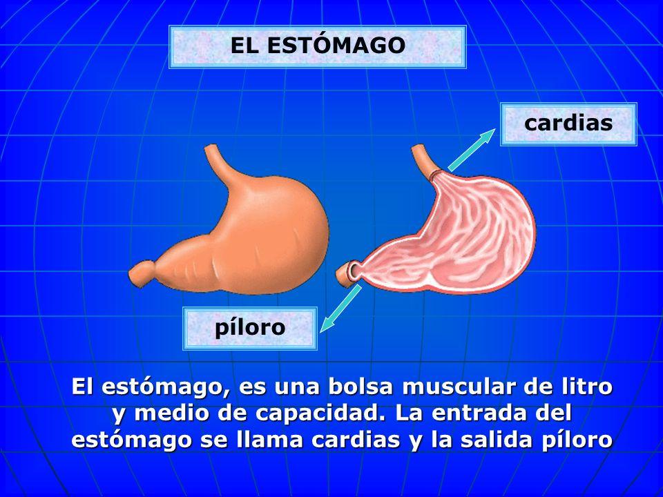 EL ESTÓMAGOcardias. píloro.
