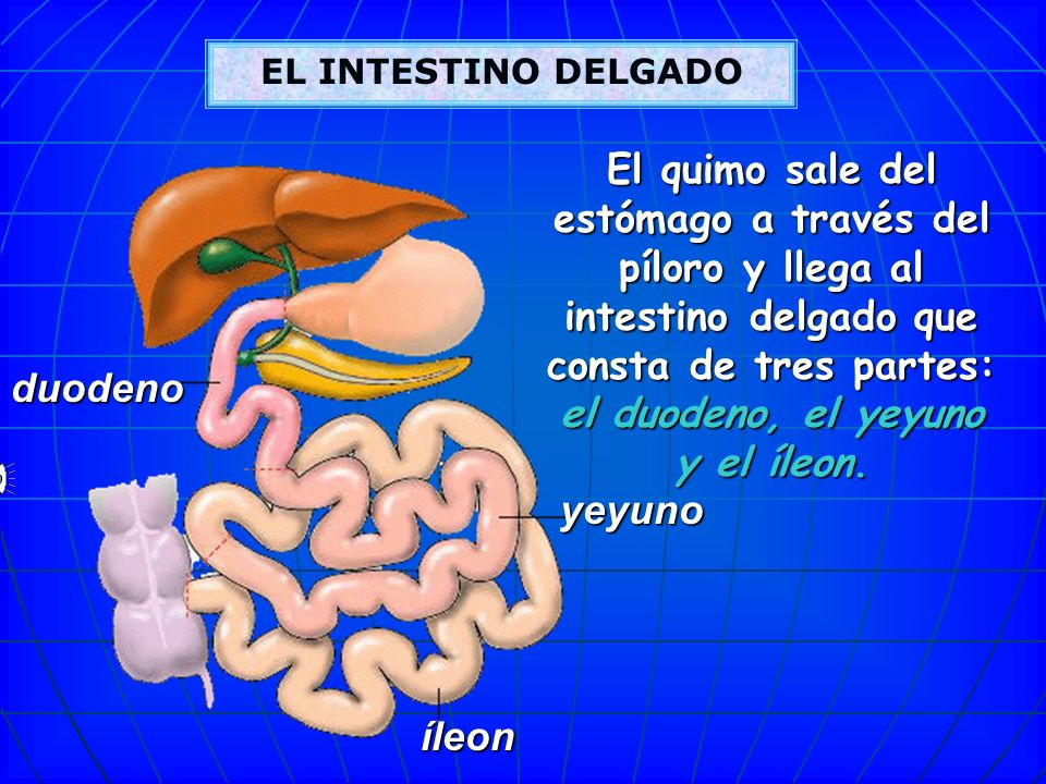 EL INTESTINO DELGADO