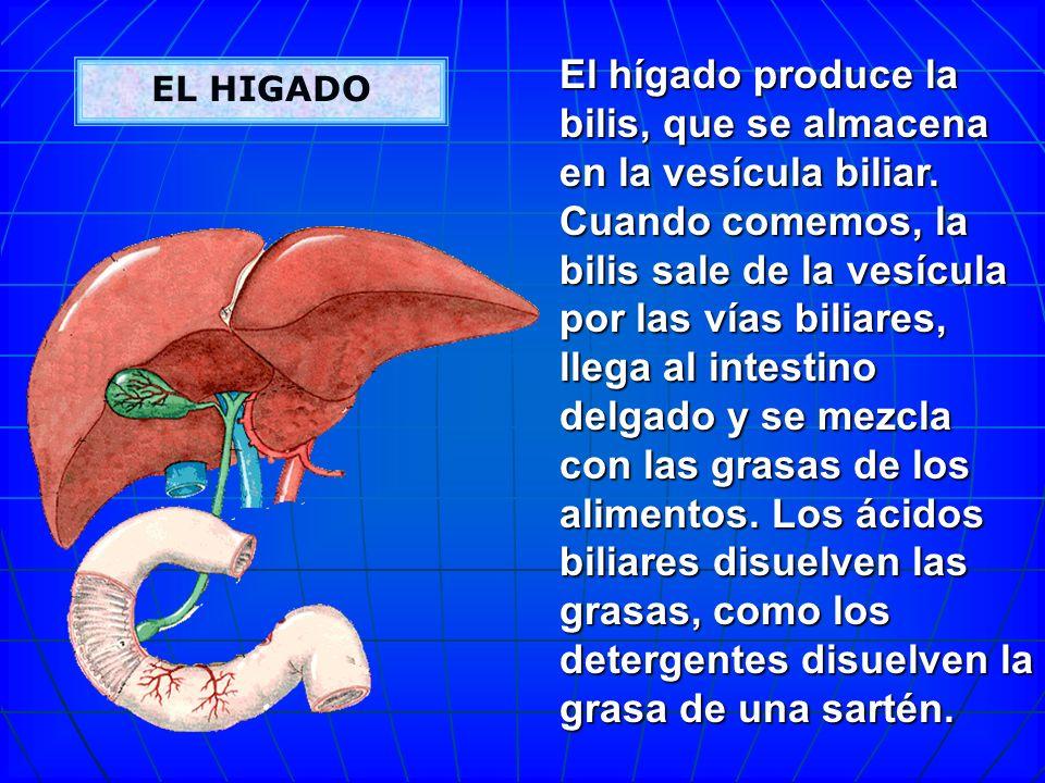 El hígado produce la bilis, que se almacena en la vesícula biliar