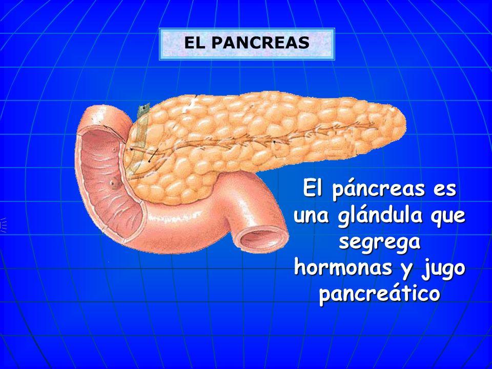 El páncreas es una glándula que segrega hormonas y jugo pancreático