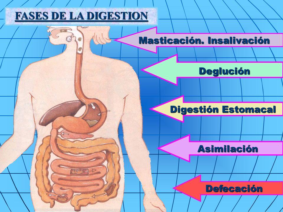 FASES DE LA DIGESTION Deglución Masticación. Insalivación