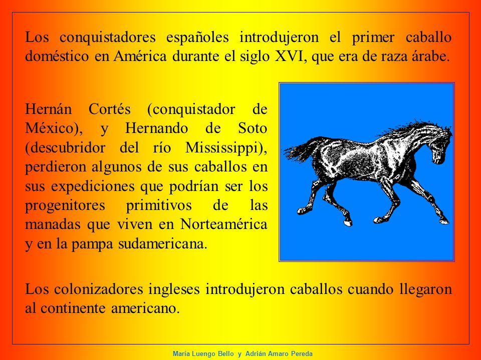 Los conquistadores españoles introdujeron el primer caballo doméstico en América durante el siglo XVI, que era de raza árabe.