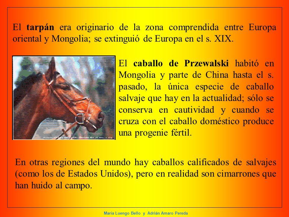 El tarpán era originario de la zona comprendida entre Europa oriental y Mongolia; se extinguió de Europa en el s. XIX.