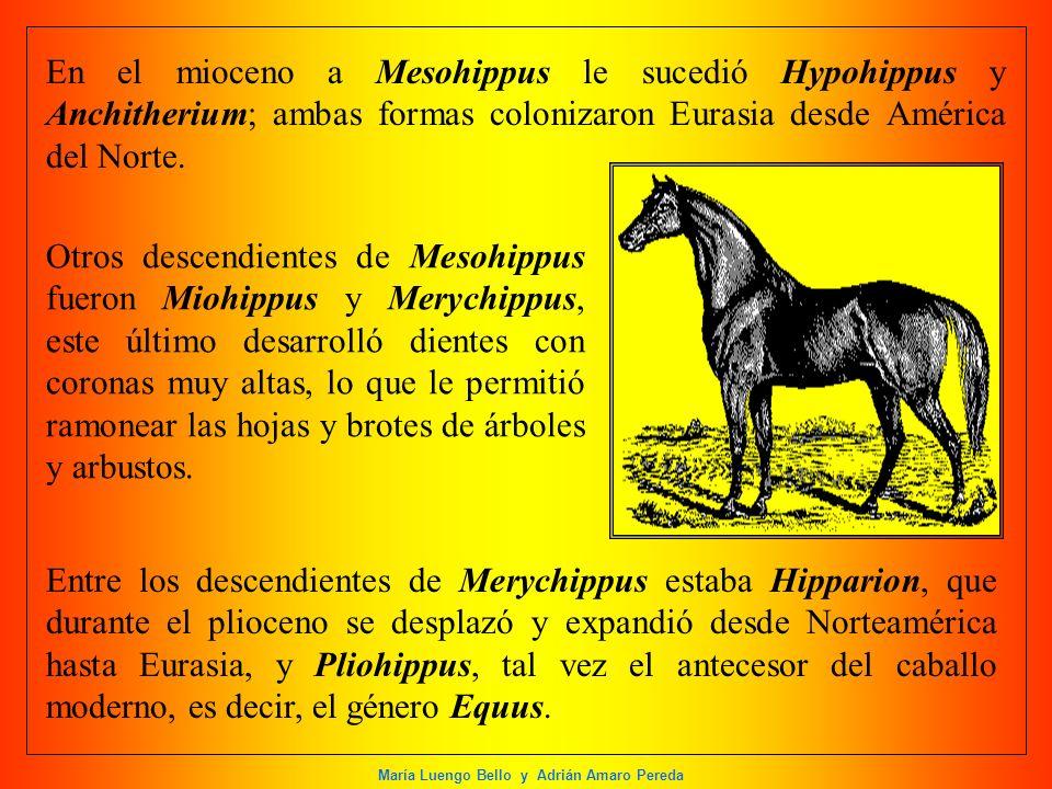 En el mioceno a Mesohippus le sucedió Hypohippus y Anchitherium; ambas formas colonizaron Eurasia desde América del Norte.