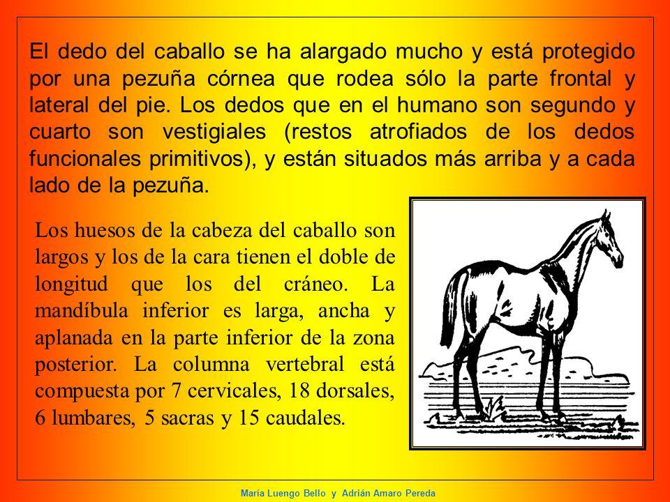El dedo del caballo se ha alargado mucho y está protegido por una pezuña córnea que rodea sólo la parte frontal y lateral del pie. Los dedos que en el humano son segundo y cuarto son vestigiales (restos atrofiados de los dedos funcionales primitivos), y están situados más arriba y a cada lado de la pezuña.