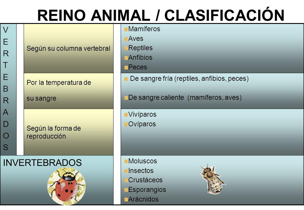 REINO ANIMAL / CLASIFICACIÓN
