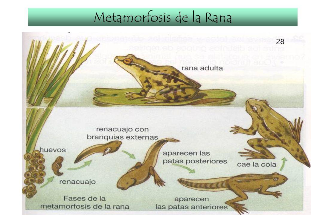 Metamorfosis de la Rana